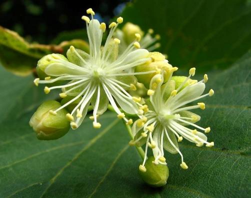 как принимать цветки липы для снижения холестерина