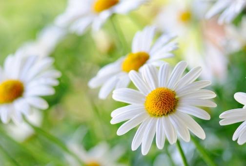 «Маленькое солнце на моей ладошке…» — все о полезных свойствах ромашки