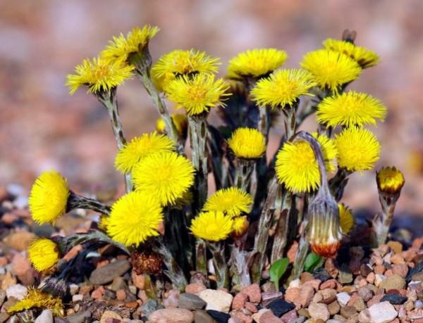 мать-и-мачеха от кашля,полезные свойства растений
