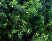 Полезные свойства ягод можжевельника, и как использовать их в домашних условиях