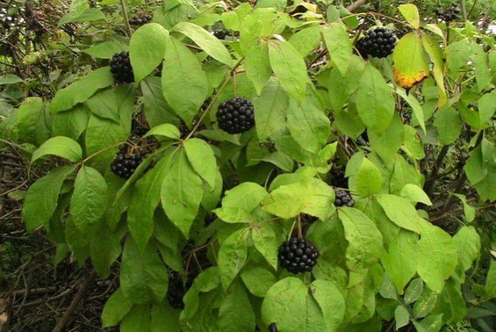 элеутерококк - лекарственное растение