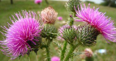 Расторопша – колючий доктор: описание, действие на организм и полезные свойства