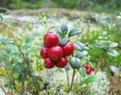 Целебные свойства ягоды брусники и брусничного листа