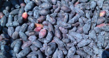 Чудо-ягода: полезные свойства жимолости и применение в народной медицине